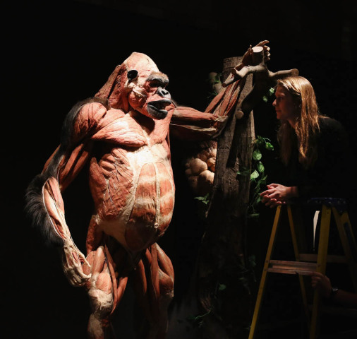 Great ape, plastinated: © Gunther von Hagens, Institute for Plastination, Germany