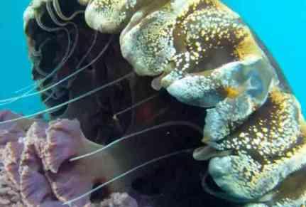 Black Sea Nettle Jellyfish (You Tube Image)