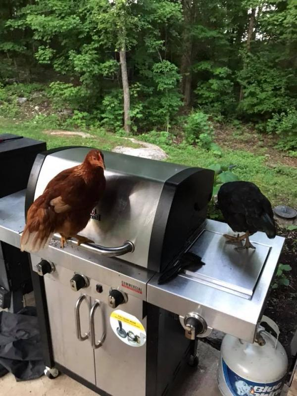 Barbecue Chickens