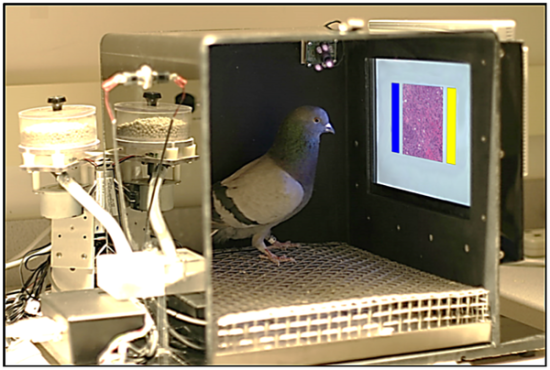 Pidgeon identifies breast cancer cells in his training chamber
