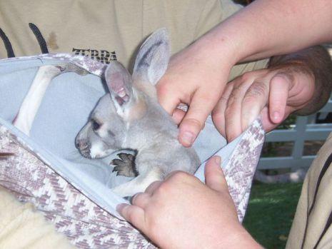 Baby Kangaroo (Public Domain Image)