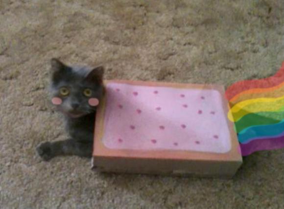 nyan cat lives nine cute real live nyan cats petslady com