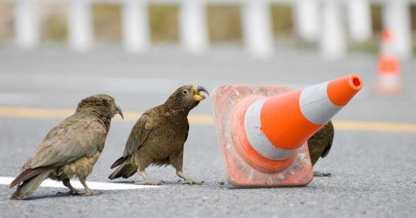 Clever Kea Parrots Move Traffic Cones To Slow Speedy Drivers