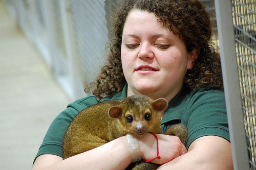 Kinkajou & Friend: (Photo by MTSOfan /Creative Commons via Flickr)