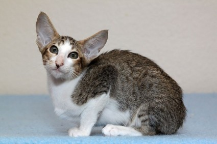 The Oriental Shorthair