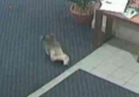 Koala Bear Wandering Through a Hotel in Australia (You Tube Image)