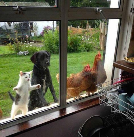 Cat, Dog, Chickens Beg Together (Image via La Bioguia)