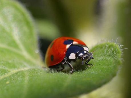 Ladybug (Public Domain Image)