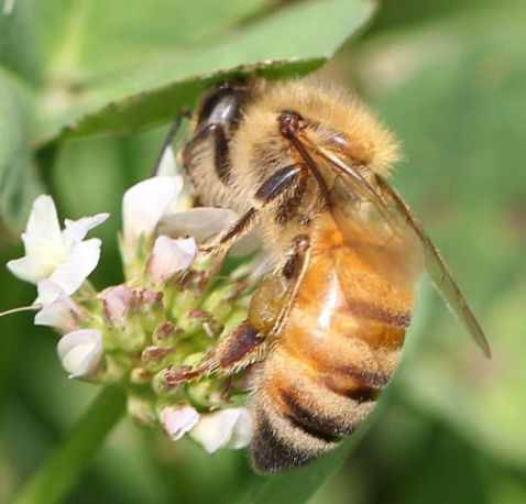 Bee (Photo by Julia Wilkins/Creative Commons via Wikipedia)