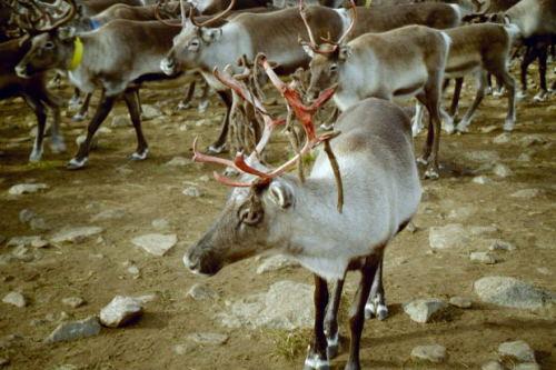 Did You Know Reindeer Eyes Change Color Each Season Petslady Com