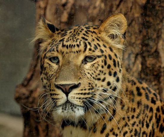 Leopard (Public Domain Photo)