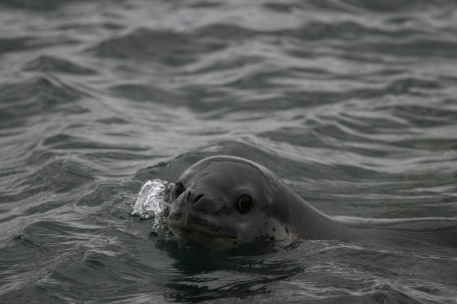 Leopard seal, a species native to the Ross Sea. Photo by giladr, Flickr.