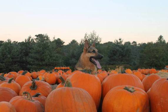 A German Shepherd in a Pumpkin Patch (Image via Life With Dogs)
