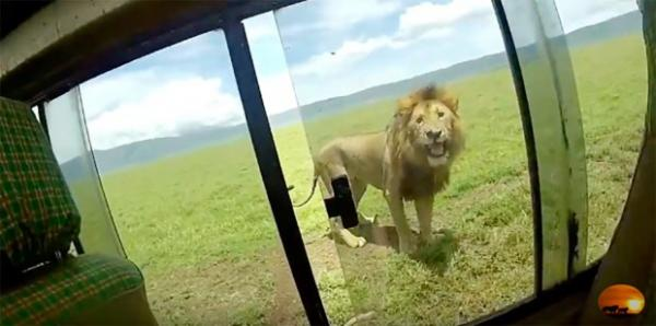 Memo To Safari-Goers: Please Don't Pet The Lions