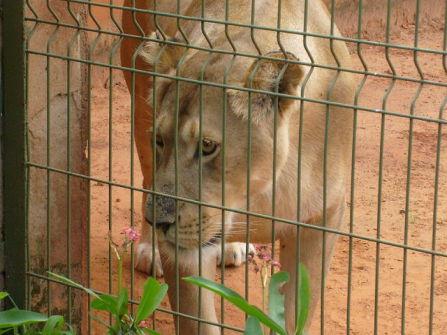Lioness (Public Domain Image)