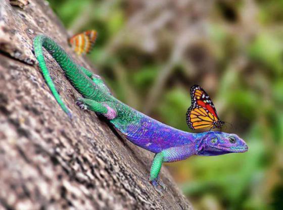 Lizard and Monarch Butterfly (Image via La Bioguia)