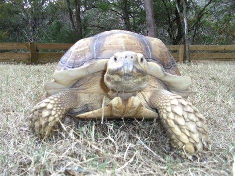 African spur thigh tortoise