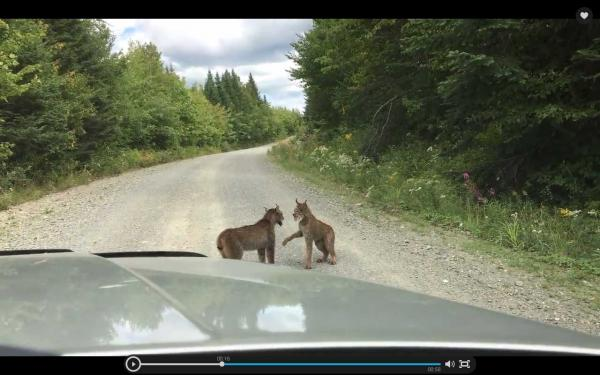 Two Lynxes Trash Talking On The Highway Are Today's Maine Attraction