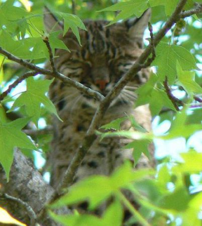 Bobcat in a Tree (Public Domain Photo)