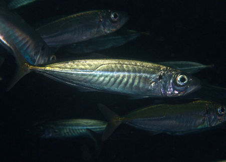 Mackerel (Photo by Ed Bierman/Creative Commons via Wikimedia)