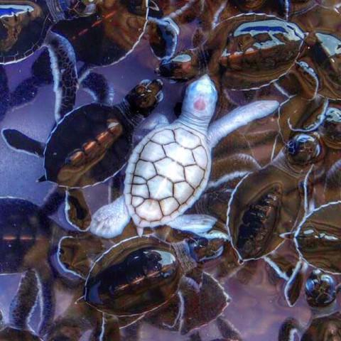 Albino Sea Turtle (Image via Maduro Dive)