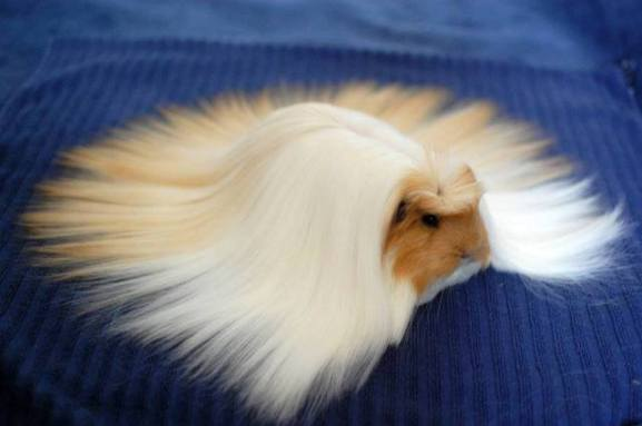 Hairy Guinea Pig (Image via Unusual Facts)