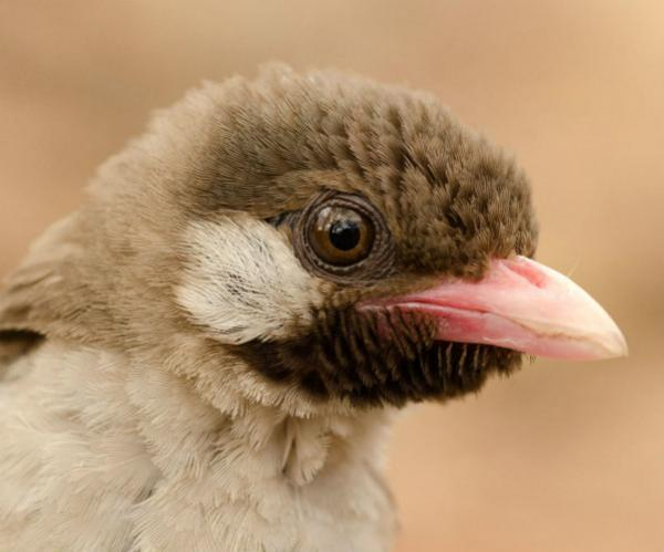 Male honeyguide in the Niassa National Reserve