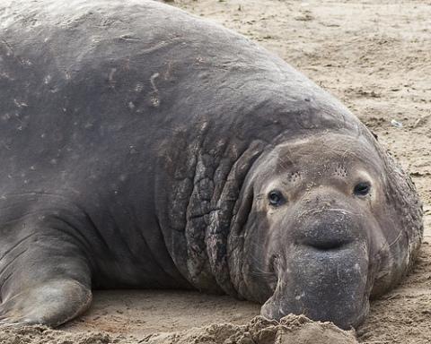 Male Elephant Seal: (Photo by Jim Bahn /Creative Commons via Flickr)