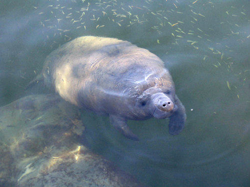 Manatees: Often called sea cows, these gentle creatures have more to fear from man
