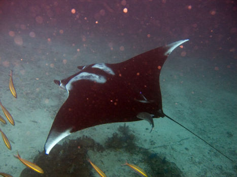Manta Ray (Photo by jon hanson/Creative Commons via Wikimedia)