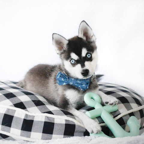 Max-Bone Designer Doggy Duds: Their line includes bow ties & bandanas (image via Max-Bone Facebook)