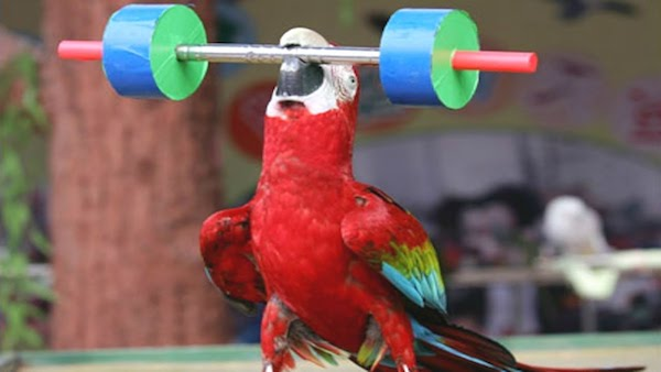 Parrots are smarter than other birds - perhaps stronger too!