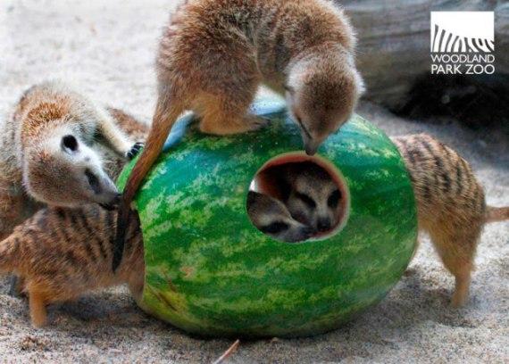 Meerkats on a Watermelon Holiday (Image via Woodland Park Zoo)