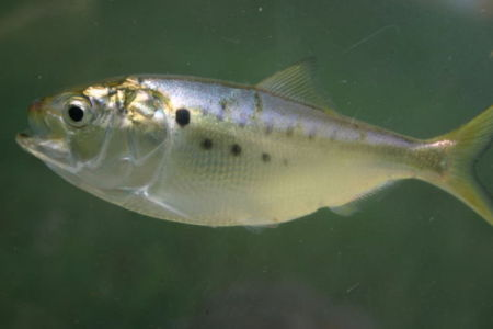 Menhaden (Photo by Brian Gratwicke/Creative Commons via Wikimedia)