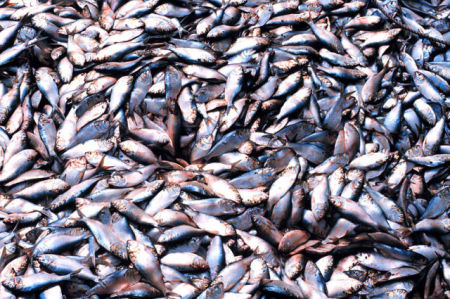 Menhaden In The Hold Of A Vessel (Public Domain Image)