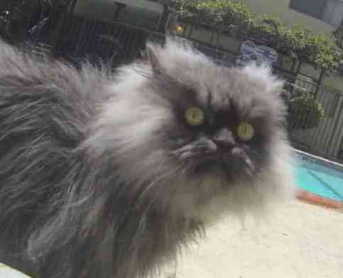 Colonel Meow Strolls Poolside (You Tube Image)
