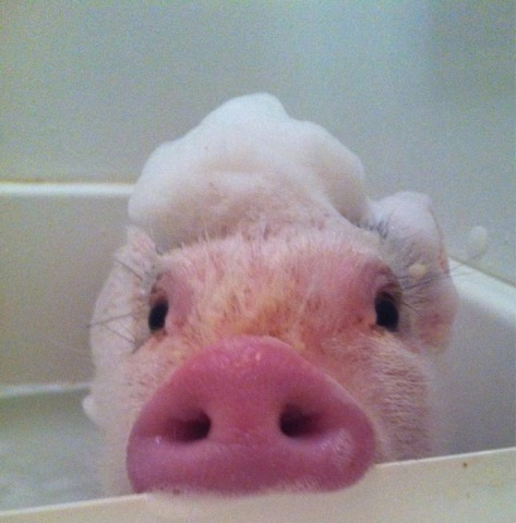 Cute Pink Pig (Image via Mercy for Animals)