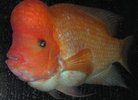 Midas Cichlid (Photo by Riccardo Speziari/Creative Commons via Wikimedia)