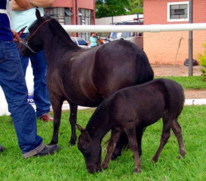 Miniature Horses (Photo by José Reynaldo da Fonseca/Creative Commons via Wikimedia)
