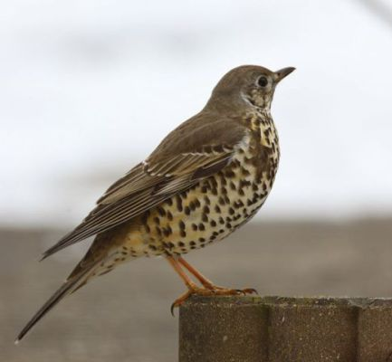 Mistle Thrush (Photo by Gerard Blokhuis/Creative Commons via Wikimedia)
