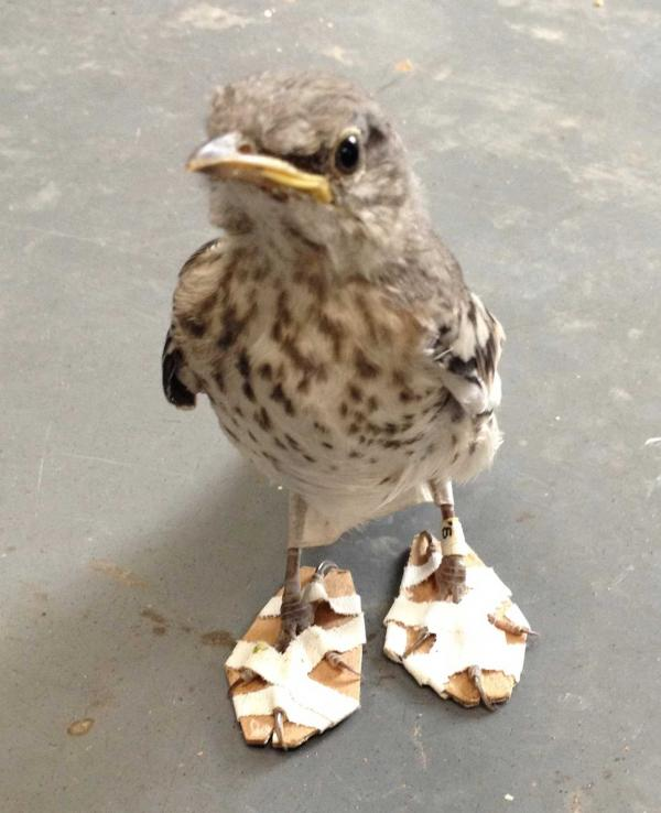 Mockingbird Chick Steps Lively After Unusual Tweetment