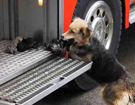 Amanda, a German Shepherd mix, rescues her puppies (You Tube Image)