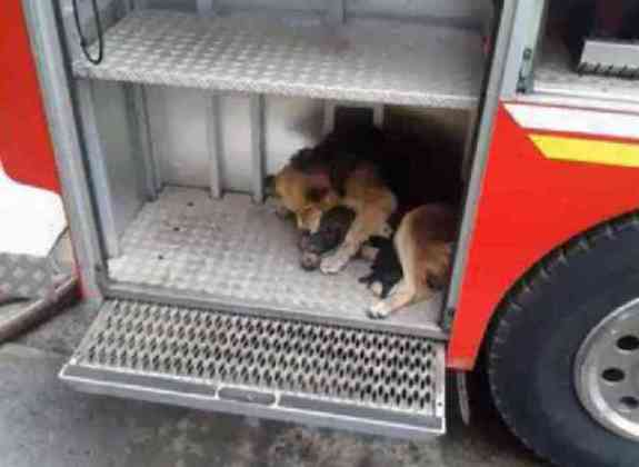 Amanda, a German Shepherd mix, protects her puppies (You Tube Image)