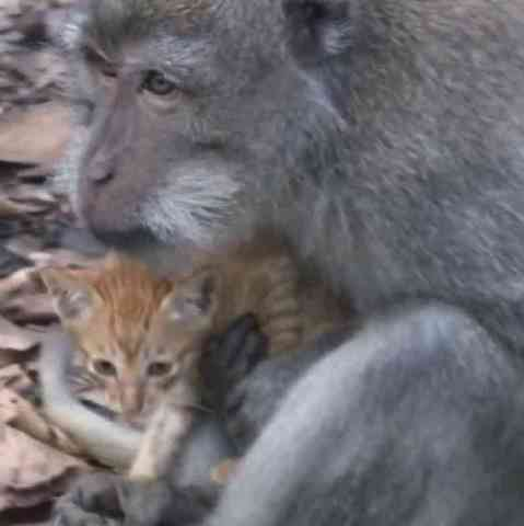 The Macaque with His Kitten (You Tube Image)