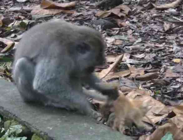 The Macaque gives His Kitten one Last Clean Check (You Tube Image)