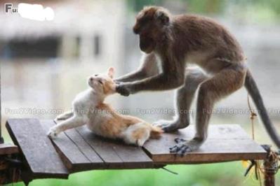 Monkey Pulling Cat's Ears: Source: Fun2video.com