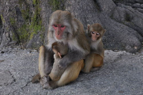 Rhesus Monkeys, Image via Aiwok/Wikimedia Commons