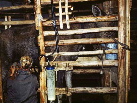Moose Being Milked By Machine In Russia (Photo by Alexander Minaev)