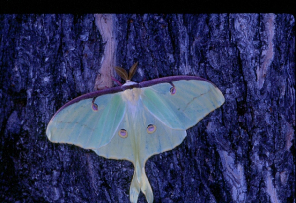 Luna Moth in Maryland's Elk Neck State Park: Image by Harry Zirlin