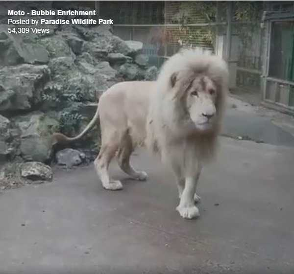 White Lion At British Zoo Exposed As A Coward By Popping Bubble